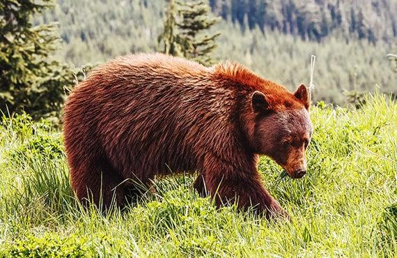 Black bear cinnamon color in the mountain