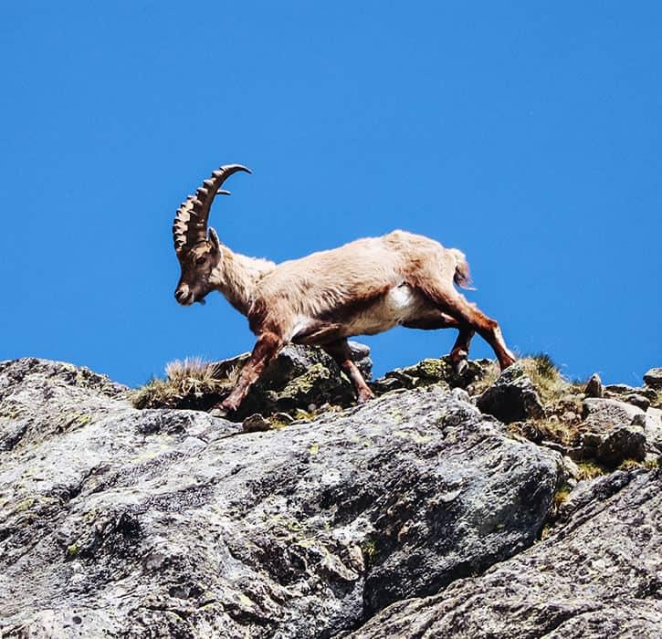 Young alpine ibex on a mountain ridge